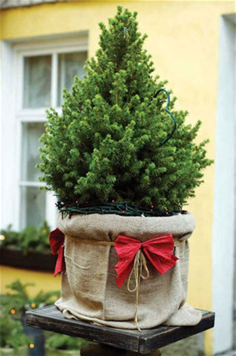 Caring for a Live Christmas Tree - Nature and Environment