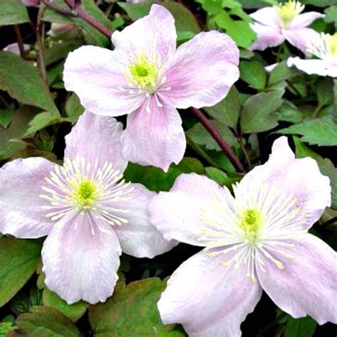 MG Series: Clematis Care & Pruning - My 1929 Charmer