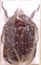 Cetoninae - alive insects online picture gallery