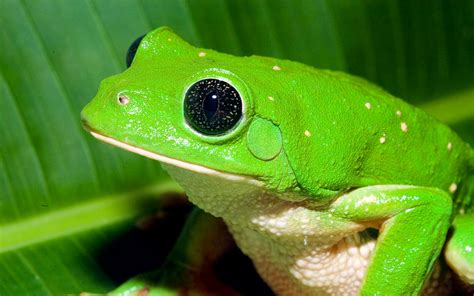 Mexican leaf frog - Viva Natura field guide