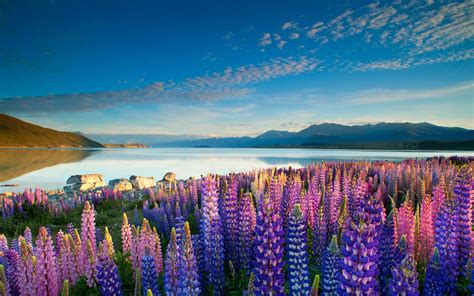 Colorful Flowers Lupins Lake Tekapo Mountains Sky With